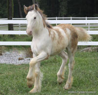 Strawberry Shortcake, 2010 Gypsy Vanner Horse filly