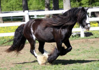 Sugar Plum of Lexlin, 2008 imported Gypsy Vanner Horse mare