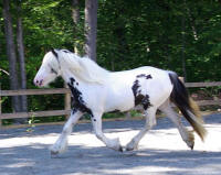 Blarney Stone's Sugar, 2007 imported Gypsy Vanner Horse filly