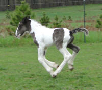 Feathered Gold Sultan, 2011 Gypsy Vanner Horse colt