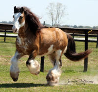 Sundance Kid, 2003 imported Gypsy Vanner Horse stallion