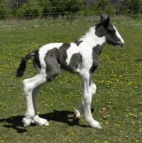 Feathered Gold Super Duty, 2016 Gypsy Vanner Horse colt