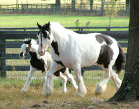 Shampoo and Seventh Heaven, Gypsy Vanner Horse mare and filly