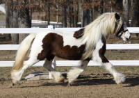 Surprise, 2008 Gypsy Vanner Horse mare