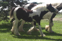 Sweet Cheeks, 2010 Gypsy Vanner Horse filly
