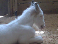 Girlie filly, 2010 Gypsy Vanner Horse foal