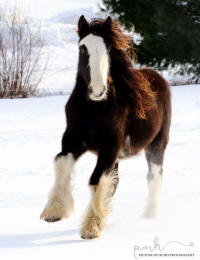 Lexlin's Sweet as Sugar Hill, 2014 Gypsy Vanner Horse mare