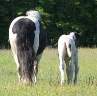 Feathered Gold Sweet Emotion, 2009 Gypsy Vanner Horse filly