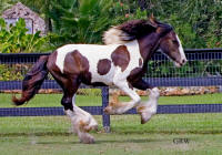 Two Step, 2005 Gypsy Vanner Horse colt