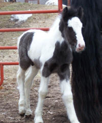 Feathered Gold Tadgh, 2008 Gypsy Vanner Horse colt