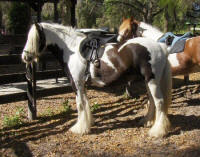 Candy Queen, imported Gypsy Vanner Horse mare