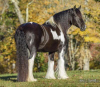 Tali, 2001 imported Gypsy Vanner Horse mare