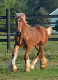 Misty Valley Tallulah N'Co, 2016 Gypsy Vanner Horse filly
