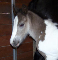 Feathered Gold Tayzer, 2008 Gypsy Vanner Horse colt