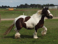 Tom's Tegwyn, 2008 imported Gypsy Vanner Horse mare