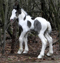 Feathered Gold Teyha, 2016 Gypsy Vanner Horse filly