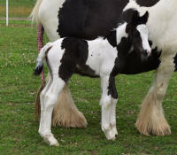WW The Emmisary, 2015 Gypsy Vanner Horse colt