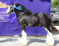 Westmoreland The Lottery Man, 2007 Gypsy Vanner Horse colt