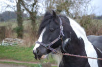 The Producer, Gypsy Vanner Horse stallion in the UK