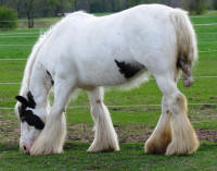Baby Doll of Thistle Ridge, 2007 Gypsy Vanner Horse mare