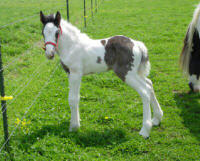 Thor, Gypsy Vanner Horse colt