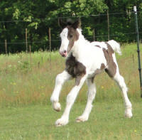 Feathered Gold Romantic Thriller, 2010 Gypsy Vanner Hores colt