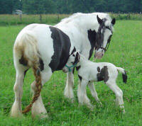 Tiara, Gypsy Vanner Horse filly