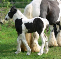 SRS The Queen's Tiara, 2011 Gypsy Vanner Horse filly
