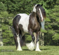 SWF White Diamond & Black Pearl, 2014 Gypsy Vanner Horse filly