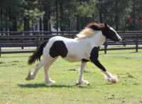 GG Tiffany, 2010 Gypsy Vanner Horse filly