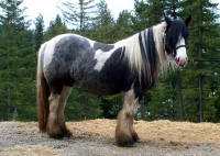 Night Sky Tillia, 2003 imported Gypsy Vanner Horse mare