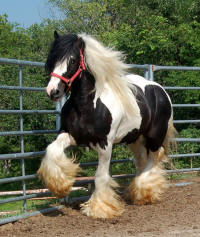 Timone of Lion King, 2003 imported Gypsy Vanner Horse stallion