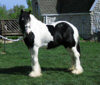 Timone, imported 2003 Gypsy Vanner Horse stallion