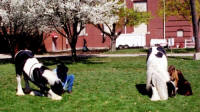 Tinker Toy and Gypsy Queen, Gypsy Vanner Horse colt and mare, full brother and sister