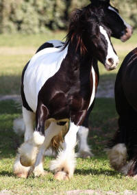 WR Tino by Starbuck, 2012 Gypsy Vanner Horse gelding