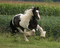 Touch of Class, 2007 imported Gypsy Vanner Horse colt