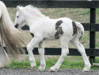 Tor, 2008 imported Gypsy Vanner Horse colt