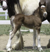 Lexlin's Towhi, 2010 Gypsy Vanner Horse filly