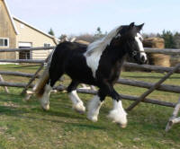 SRS Toy Boy's Doll, 2008 Gypsy Vanner Horse filly