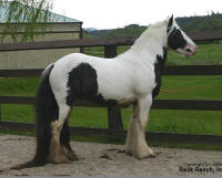 Rock Ranch CS Toy Boy, 2002 imported Gypsy Vanner Horse stallion