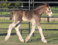 Toy Heart foal, 2016 Gypsy Vanner Horse colt