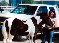 Traveller, Gypsy Vanner Horse colt at Equifair 2003