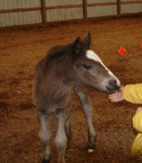 2006 filly, Gypsy Vanner Horse foal