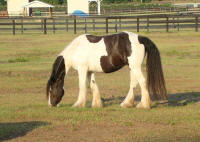 GB King's Savannah, 2004 Gypsy Vanner Horse mare