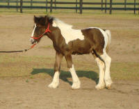 VVF Picasso, 2008 Gypsy Vanner Horse colt