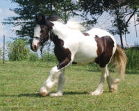 Thorn Hill Be My Valentine, 2009 Gypsy Vanner Horse filly