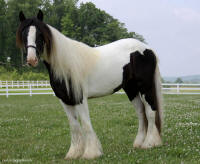Victoria, 2008 imported Gypsy Vanner Horse filly