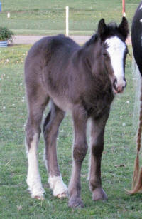 WW Vixxen, 2013 Gypsy Vanner Horse filly