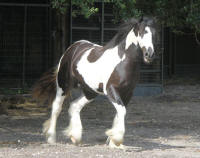 WR David, 2015 Gypsy Vanner Horse colt