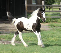 WR Posy, 2016 Gypsy Vanner Horse filly